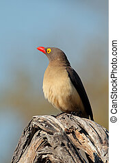 Red-billed oxpecker (Buphagus erythrorhynchus) perched on a...