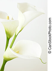 Calla lilies close-up Shallow DOF