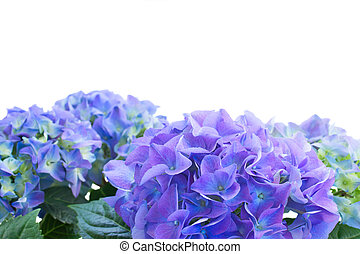 border of blue hortensia flowers isolated on white...