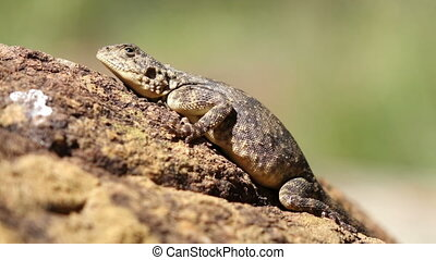 Ground agama - Female ground agama Agama aculeata basking on...