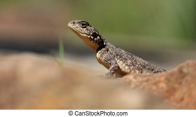 Ground agama Female ground agama Agama aculeata basking on a...