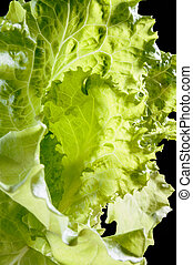Batavia Salad Leaves - Closeup of tender green Batavia salad