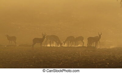 Springbok at sunrise - Springbok antelopes Antidorcas...