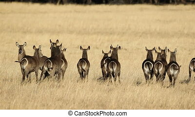 Waterbuck in grassland - Herd of waterbuck Kobus...