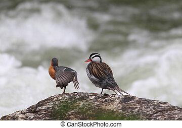 Torrent Duck (Merganetta armata) in Ecuador