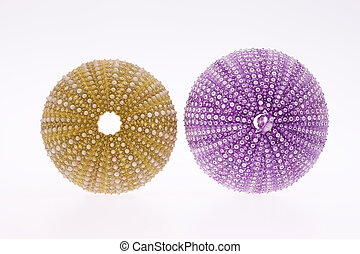 some seashell of sea urchin isolated on white background