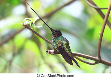 Sword-Billed Hummingbird (Ensifera ensifera) in Guango,...