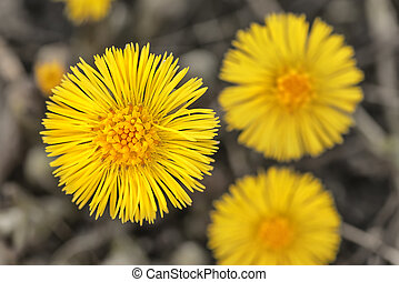 Tussilago farfara or Coltsfoot from above, short depth of...