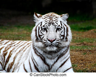 White tiger closeup in a florida zoo