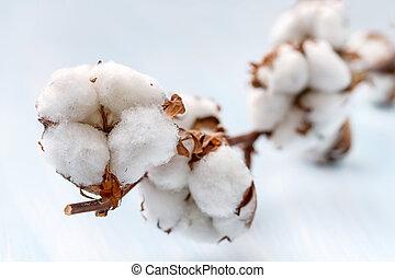 algodão, brotos, ramo, pequeno, profundidade, campo,...