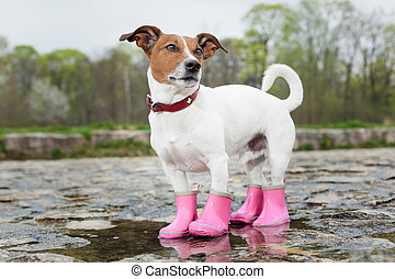 dog in the rain - dog wearing pink rubber boots inside a...
