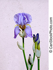 Iris flower on the light background
