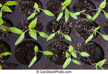 Seedlings - Pepper seedlings in small pots