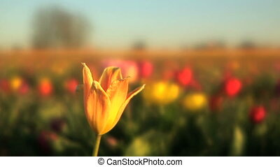 Single Tulip - Tulip festival, Woodburn, Oregon