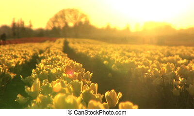 Sunset on a Tulip Field - Backlit tulips at sunset, Tulip...