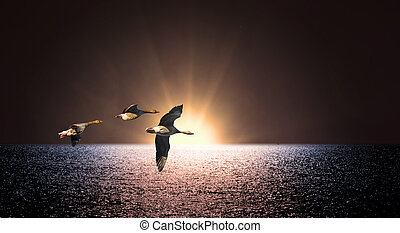 Thre canada geese over sea at sunset