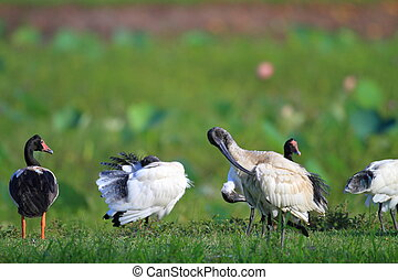 Australian White Ibis (Threskiornis molucca) in Cairns,...