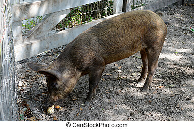 pig eating - a pig eating on a farm