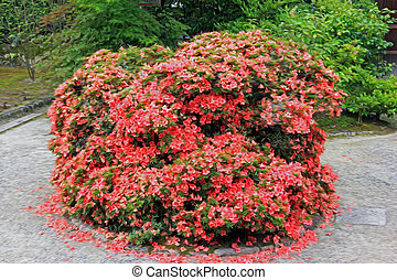 photo of a shrub in japanese garden with intensely red...