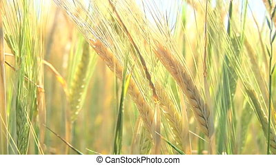 Wheat Stalk