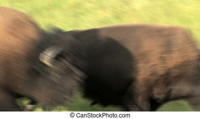 Bison, slow motion - Wild Buffalo running in Yellowstone...