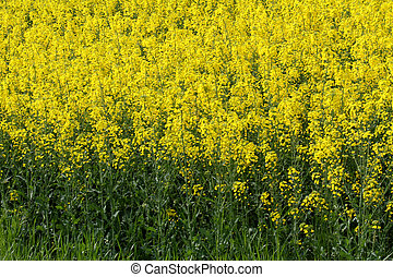 rapeseed flowers in the middle of the countryside 2 - yellow...