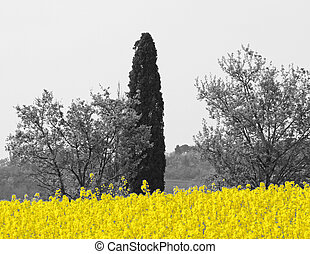 Cypress and yellow flower field of rapeseed for oil...