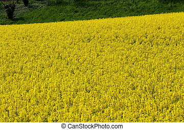 rapeseed flowers in the middle of the countryside1 - yellow...