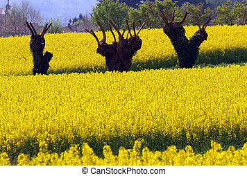 three mulberry trees pruned and yellow field of rapeseed...