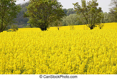 rapeseed flowers in the middle of the countryside in spring...