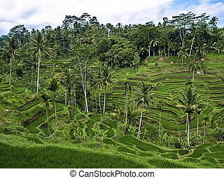 Bali terraces - Asian mountain rice terraces Bali, Indonesia...