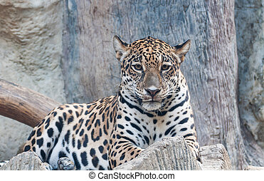Staring of leopard - Portrait leopard predator in the zoo of...