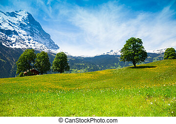 Summer nature landscape near Alps - Yellow flowers field...