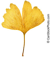 Ginkgo leaf - Ginkgo ginkgo biloba leaf with autumn colors,...