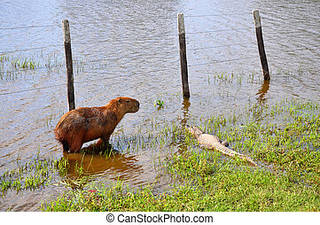 Flooded farm with capibara and cayman, Pantanal, Mato Grosso...