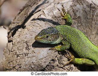 Eastern Green Lizard male, Lacerta viridis