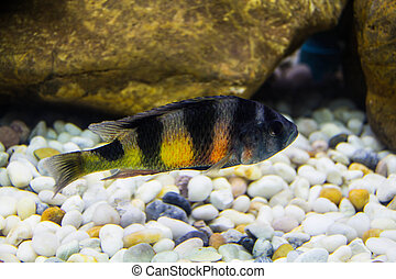 striped cichlid fish of the frontosa species - striped...