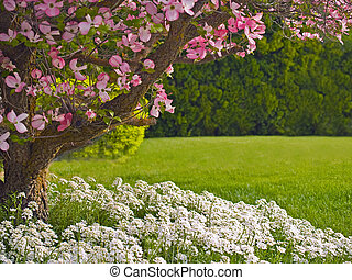 Dogwood in Spring - Pink blooms adorn a Dogwood tree in...