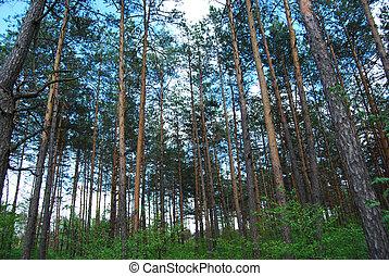 pino, árboles