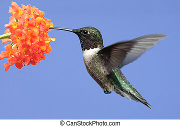 Ruby-throated Hummingbird (archilochus colubris) in flight...
