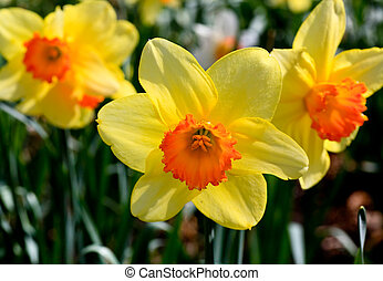 The daffodil blooming in spring - The daffodil closeup over...