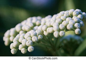 White flower buds macro