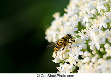 Bee on white wild flower