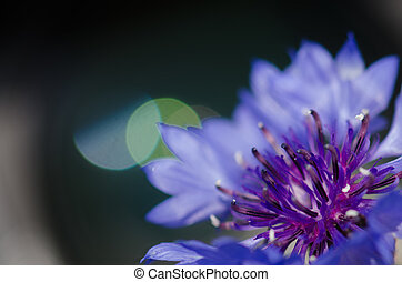Cornflower against green background