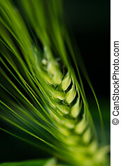Ear of wheat still green close-up