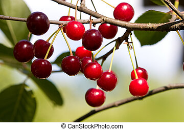 cherry tree - nature series: branch of cherry tree loaded...
