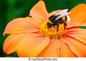 Bumble bee pollinating a flower...