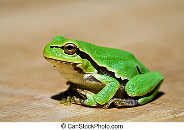 green frog - animals series: macro picture of grenn frog