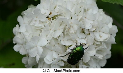 cetonia aurata flower - cetonia aurata quietly sitting on a...
