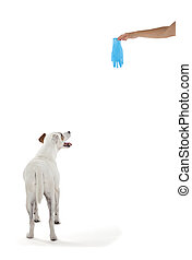 Jack Russell Terrier looking at rubber glove